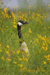 Canada Goose (Branta canadensis),wildflowers on lake shore, Oklahoma, June