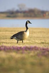 canada_goose_larry_ditto_x0z3989