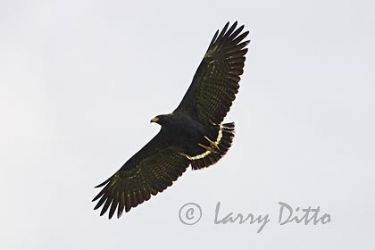 common_black-hawk_Larry_Ditto_x0z3800
