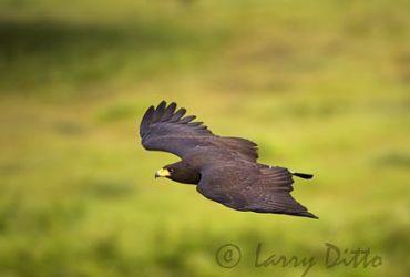 Common Black Hawk (Buteogallus anthracinus) in flight, May