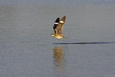 Common Nighthawk (Chordeiles minor), in flight,  drinking, s. Texas, summer