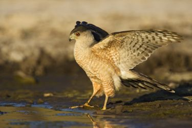 coopers_hawk_larry_ditto_9675