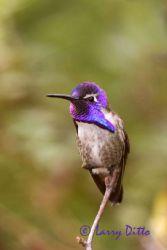 costas_hummingbird_larry-ditto