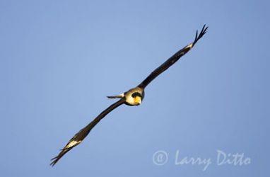 crested_caracara_2_Larry_Ditto