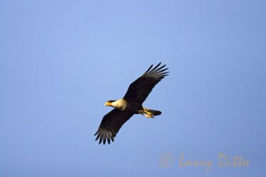 crested_caracara_larry_ditto_