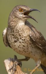 curve-billed_thrasher_larry_ditto_x0z3761