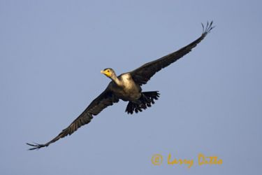 double-crested_cormorant_larry_dito