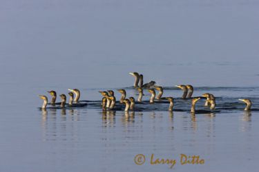 double-crested_cormorant_larry_ditto