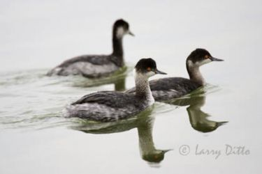 eared_grebes_larry_ditto_x0z5916