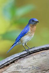 Eastern Bluebird, male adult, perched on wagon wheel, North Carolina