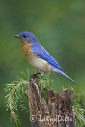 Eastern Bluebird, adult male, spring, North Carolina