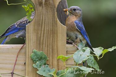 eastern_bluebird_larry_ditto_x0z9384