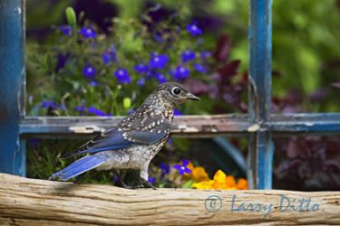 Eastern Bluebird, young just out of the nest, in North Carolina garden, spring