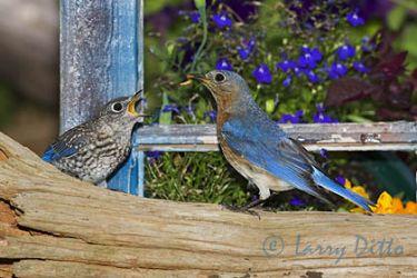 Eastern Bluebird, adult feeding young, North Carolina garden, spring