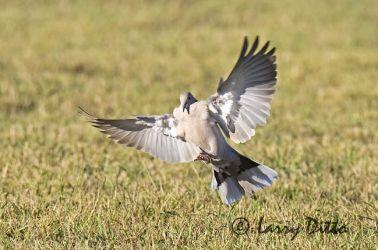 Eurasian Collared-Dove (Streptopelia decaocto) landing, s. Texas