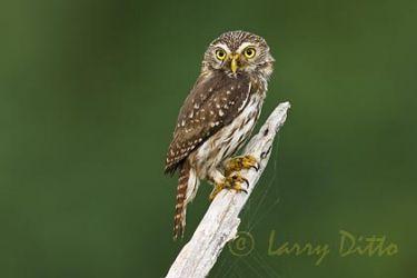 Ferruginous Pygmy Owl (Glaucidium brasilianum) adult, May