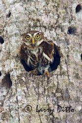 ferruginous_pygmy_owl_larry_ditto_x0z3837