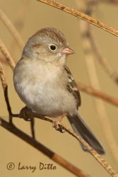 field_sparrow_larry_ditto_x