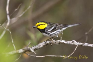 golden-cheeked-warbler-3_larry_ditto