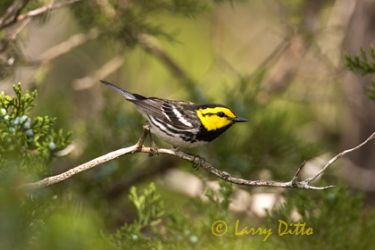 golden-cheeked-warbler_5_larry_ditto