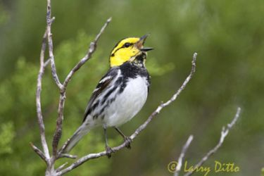 golden-cheeked-warbler_larry_ditto