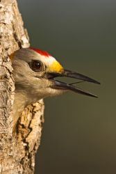 golden-fronted_woodpecker_larry_ditto_X0Z1918
