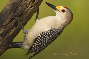 golden-fronted_woodpecker_larry_ditto_x0z2433