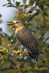 golden-fronted_woodpecker_larry_ditto_x0z5719