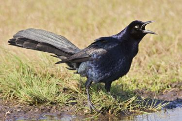 great-tailed_grackle_larry_ditto_mg2468