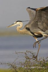great_blue_heron_Larry_Ditto 1