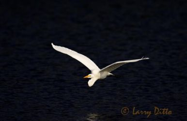 great_egret_larry-ditto_x0z