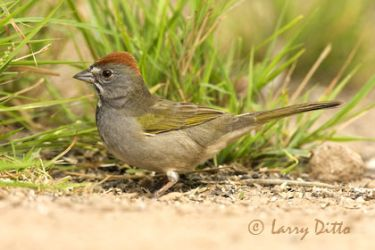 green-tailed_towhee_2_larry_ditto