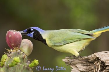 green_jay_5_larry_ditto_x0z