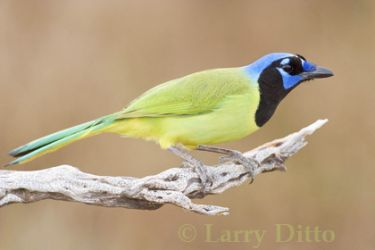 green_jay_Larry_Ditto_3090