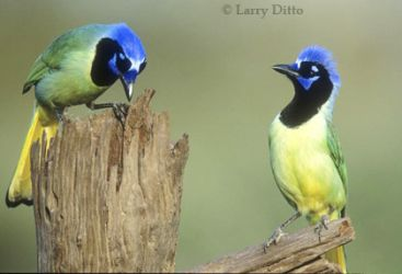 green_jays_2_Larry_Ditto