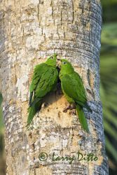 green_parakeet_larry_ditto_x0z6560