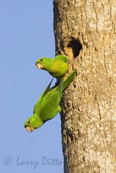 green_parakeet_larry_ditto_x0z6764