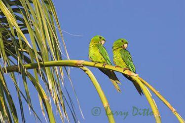 Green Parakeet (Aratinga holochlora) pair in palm tree, s. Texas, May
