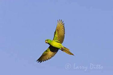 Green Parakeet (Aratinga holochlora) in flight, s. Texas, spring