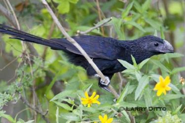groove-billed-ani_larry-ditto