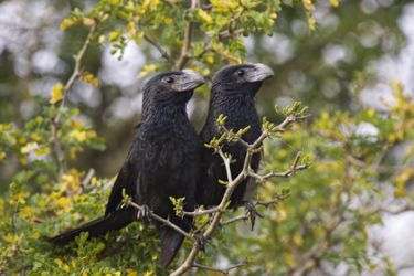 groove-billed_ani_Larry_Ditto_3326