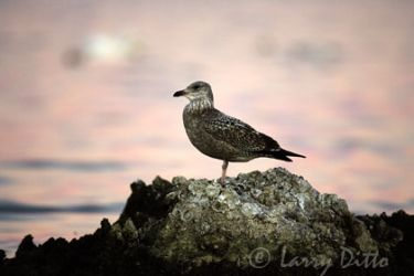 herring_gull_larry_ditto_x0