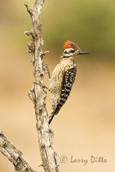 Ladder-backed Woodpecker, male