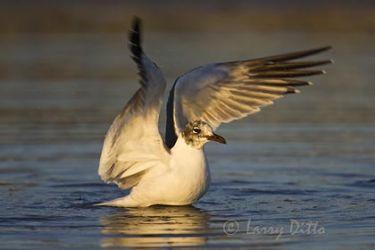 Laughing Gull, winter, bathing