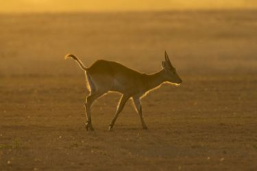 Antelope, Lechewe