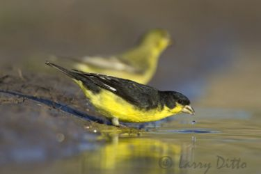 lesser_goldfinch_Larry_Ditto_7591
