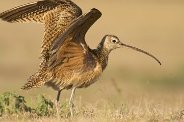 long-billed_curlew_Larry_Ditto_4966