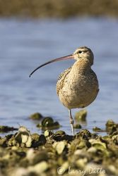 long-billed_curlew_larry_ditto_x0z1982