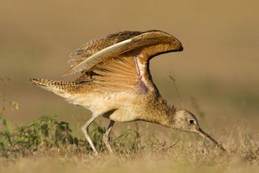 Long-billed Curlew (Numenius americanus), grassland, spring migration, s. Texas