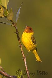 mangrove_warbler_larry_ditto_x0z4262